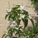 Image of <i>Carphalea pubescens</i>