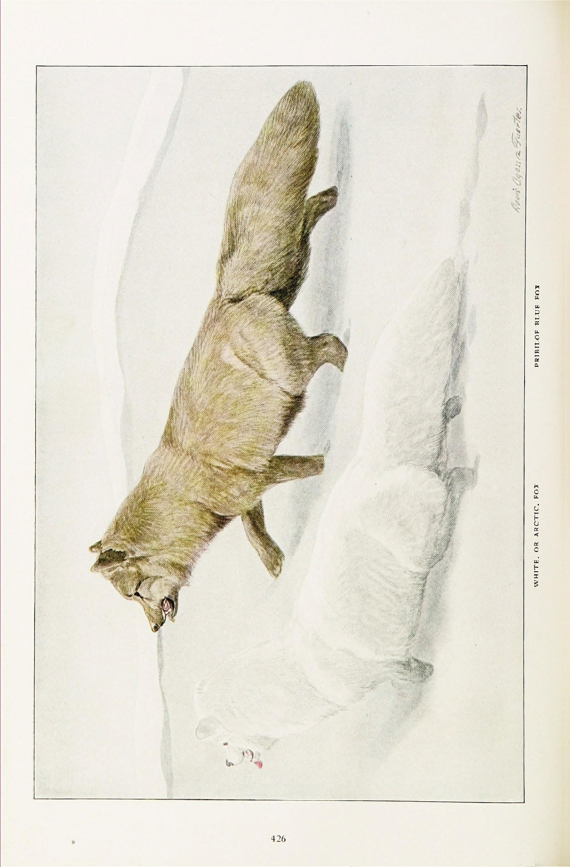 Image of <i>Vulpes lagopus pribilofensis</i> Merriam 1902
