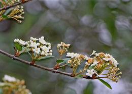 Image of small-leaf arrowwood