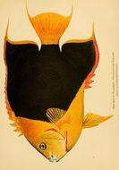 Image of <i>Holacanthus tricolor</i> (Bloch 1795)