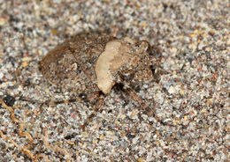 Image of Big-Eyed Toad Bug