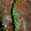 Image of <i>Tmesipteris obliqua</i> R. J. Chinnock