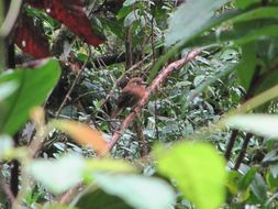 Image of Moustached Puffbird