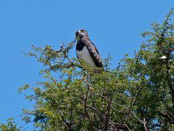 Image of Black-Breasted Snake-Eagle