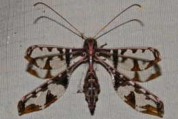 Image of Blotched Long-horned Owlfly
