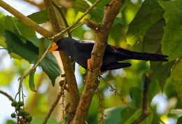 Image of Finch-billed Myna