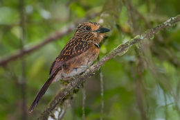 Image of Crescent-chested Puffbird
