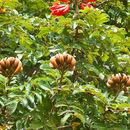 Image of African Tuliptree