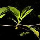 Image of <i>Terminalia amazonia</i> (J. F. Gmel.) Exell