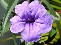 Image of Softseed wild petunia