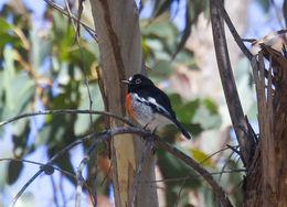 Image of Norfolk Robin