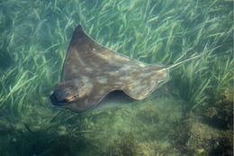 Image of Australian bull ray