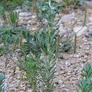 Image of broad-leaved cutweed
