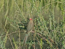 Image of Red-faced Mousebird