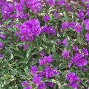 Image of <i>Bougainvillea glabra</i> Choisy
