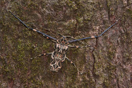 Image of Harlequin Beetle