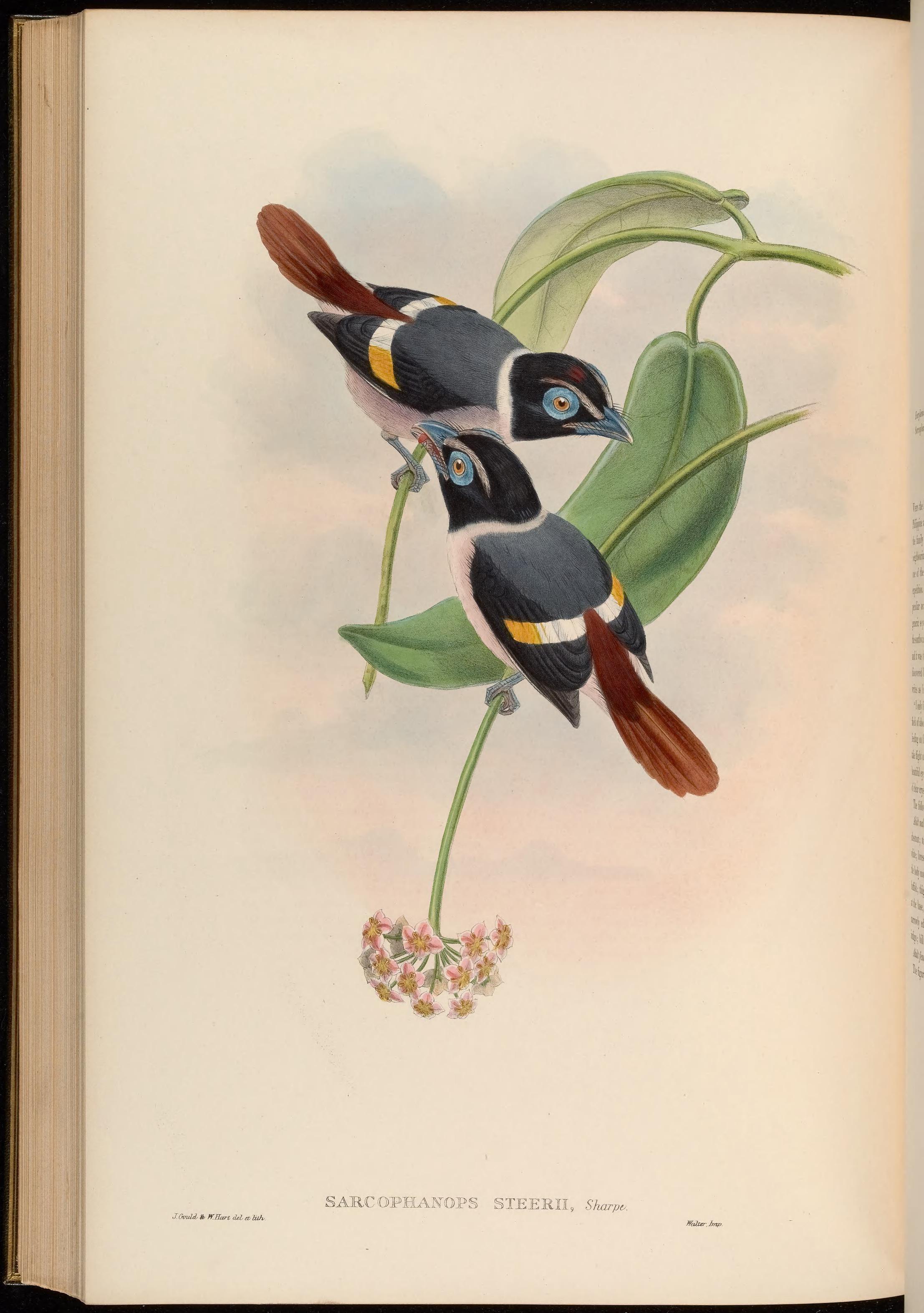Image of Wattled Broadbill