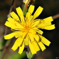 Image of coastal plain hawkweed