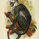 Image of Gray Leaf Monkey