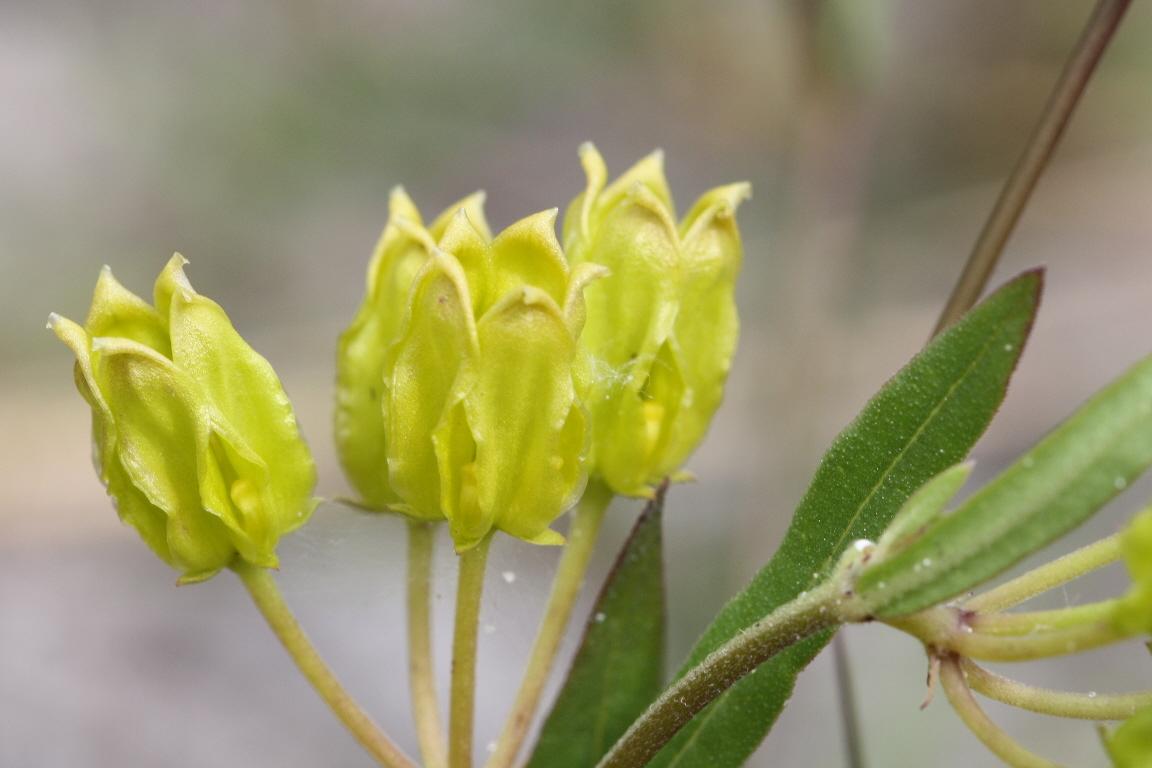 Image of savannah milkweed