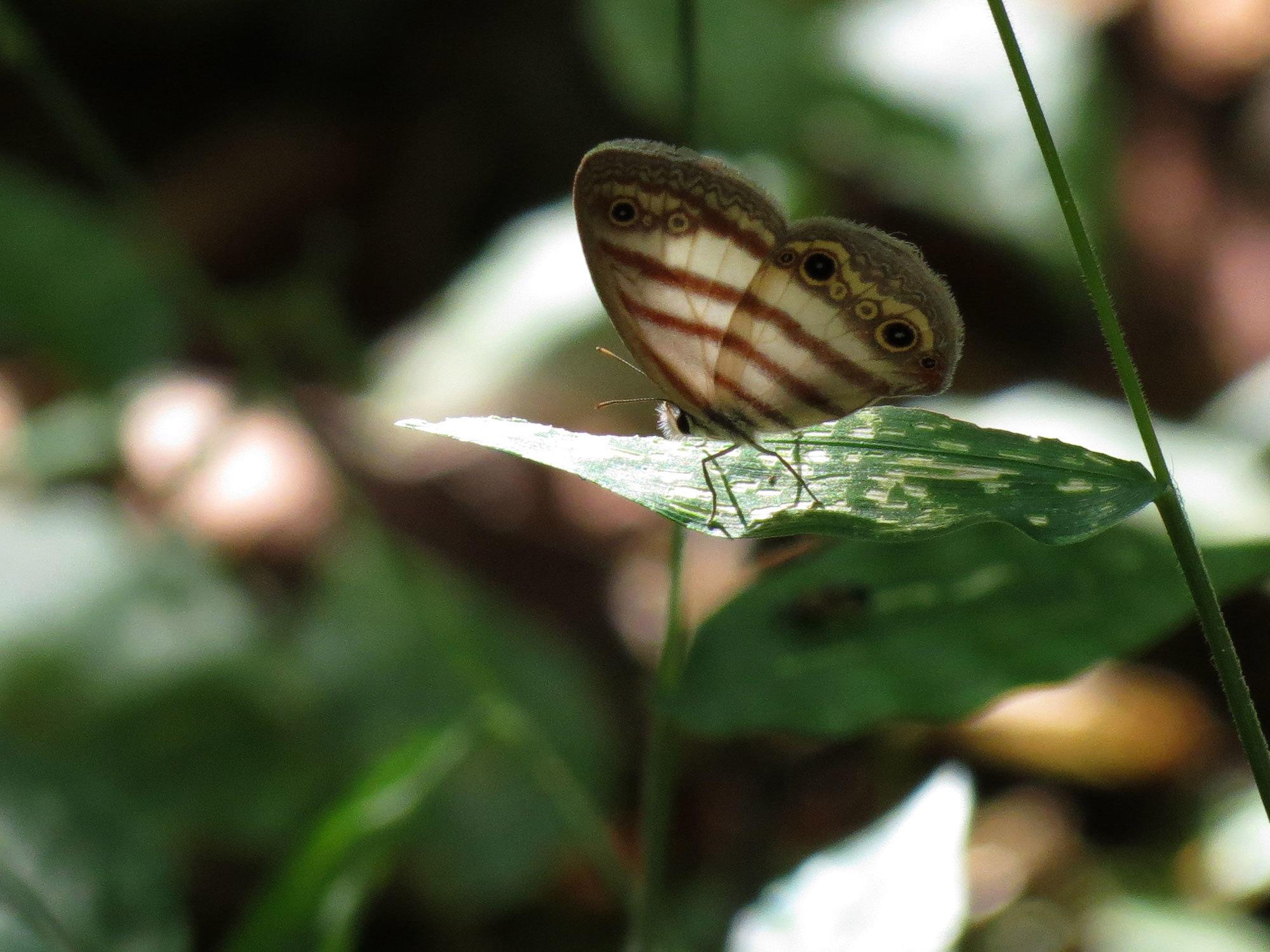 Image of <i>Euptychia westwoodi</i>