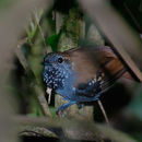 Image of Star-throated Antwren