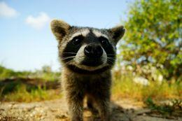 Image of Cozumel Island Raccoon