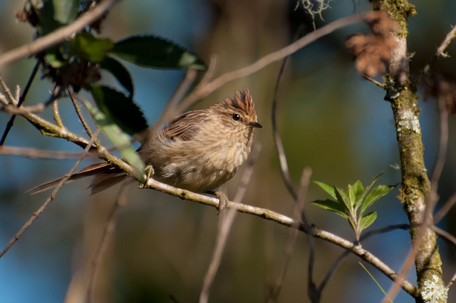 Image of Striolated Tit-Spinetail