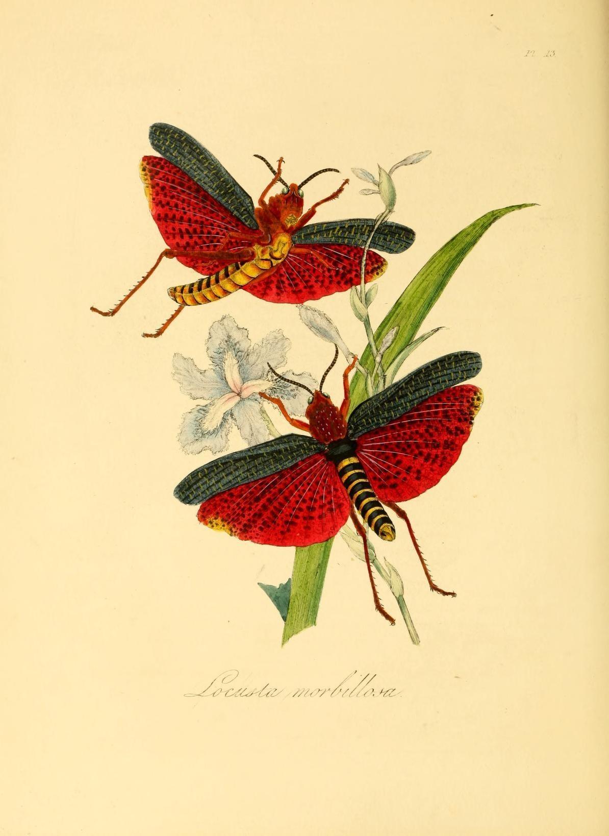Image of <i><i>Phymateus</i></i> (Phymateus) <i>morbillosus</i> (Linnaeus 1758)
