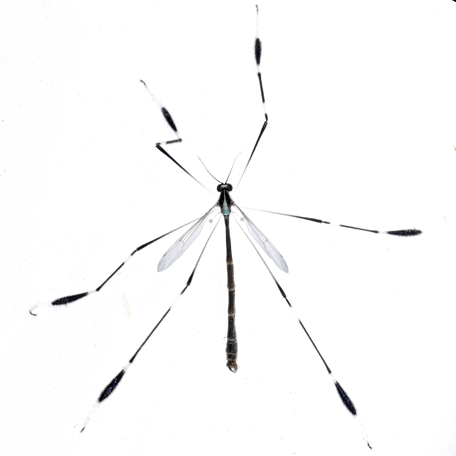 Image of Phantom Crane Fly
