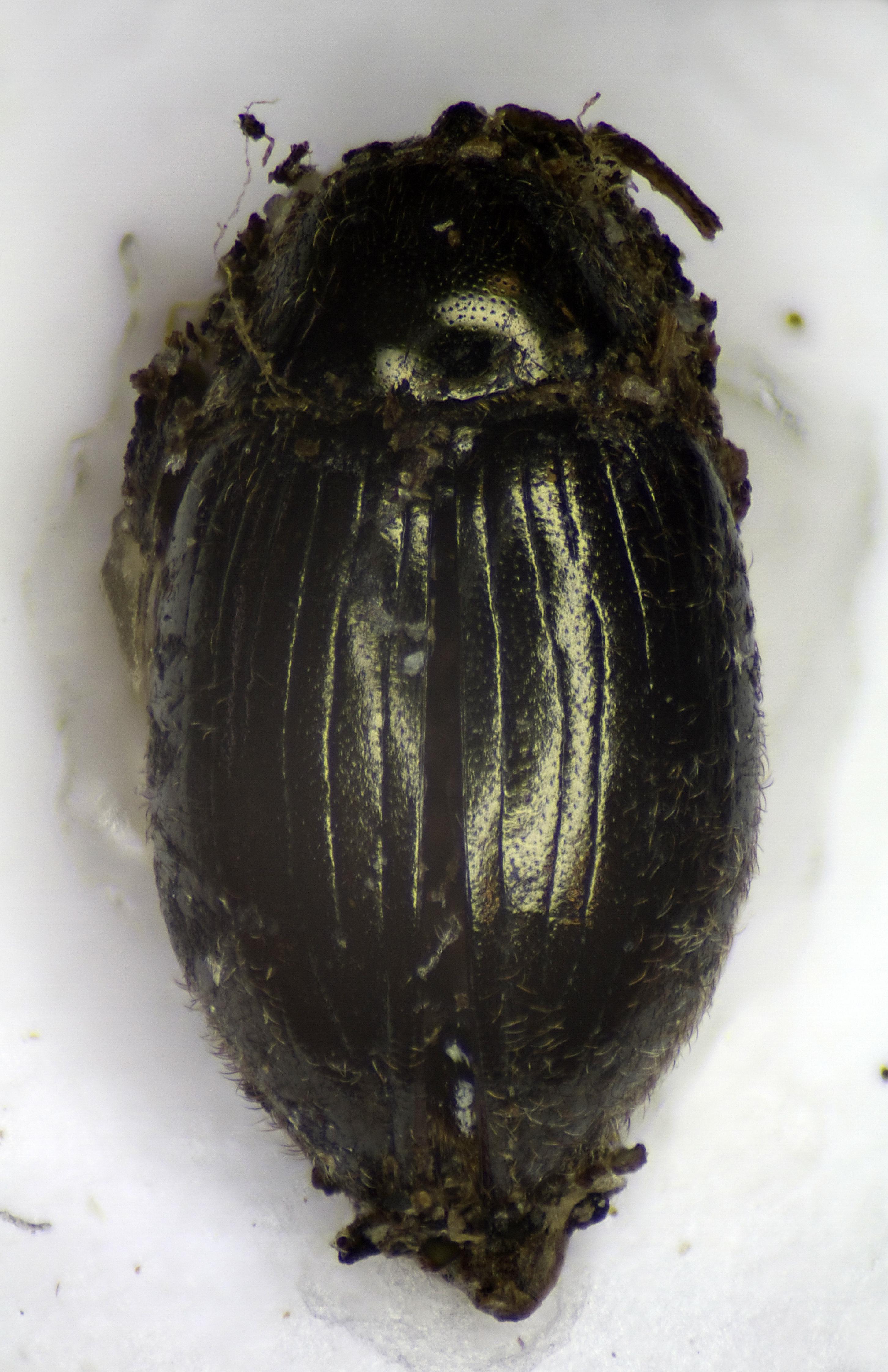 Image of <i>Simplocaria metallica</i> (Sturm 1807)