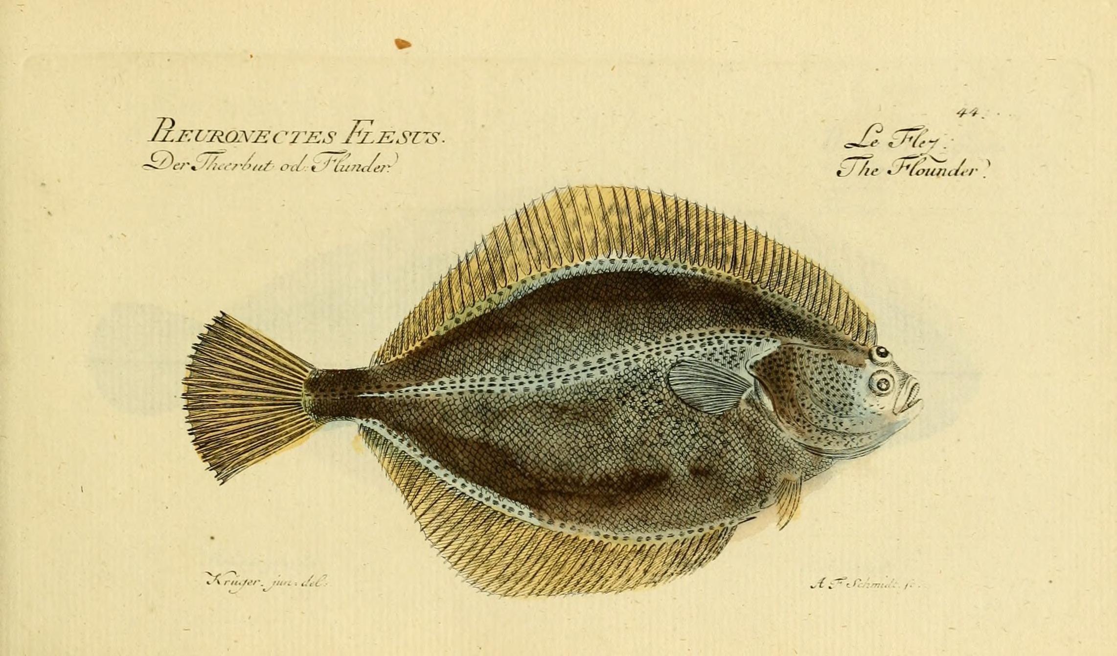 Image of European Flounder