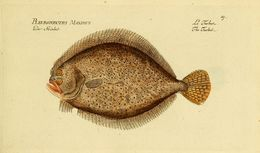 Image of turbot