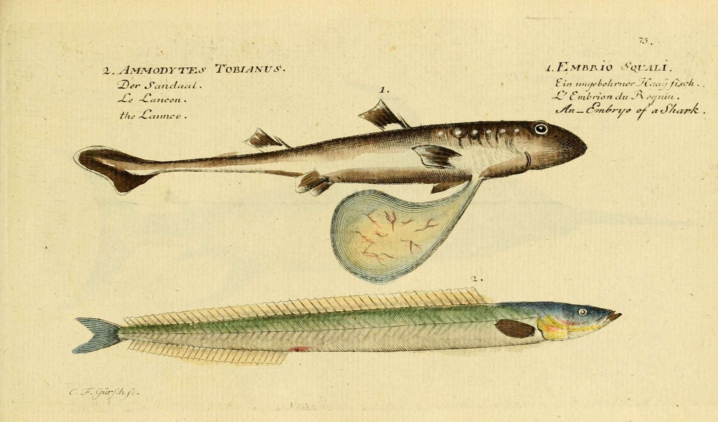 Image of Lesser Sand-eel