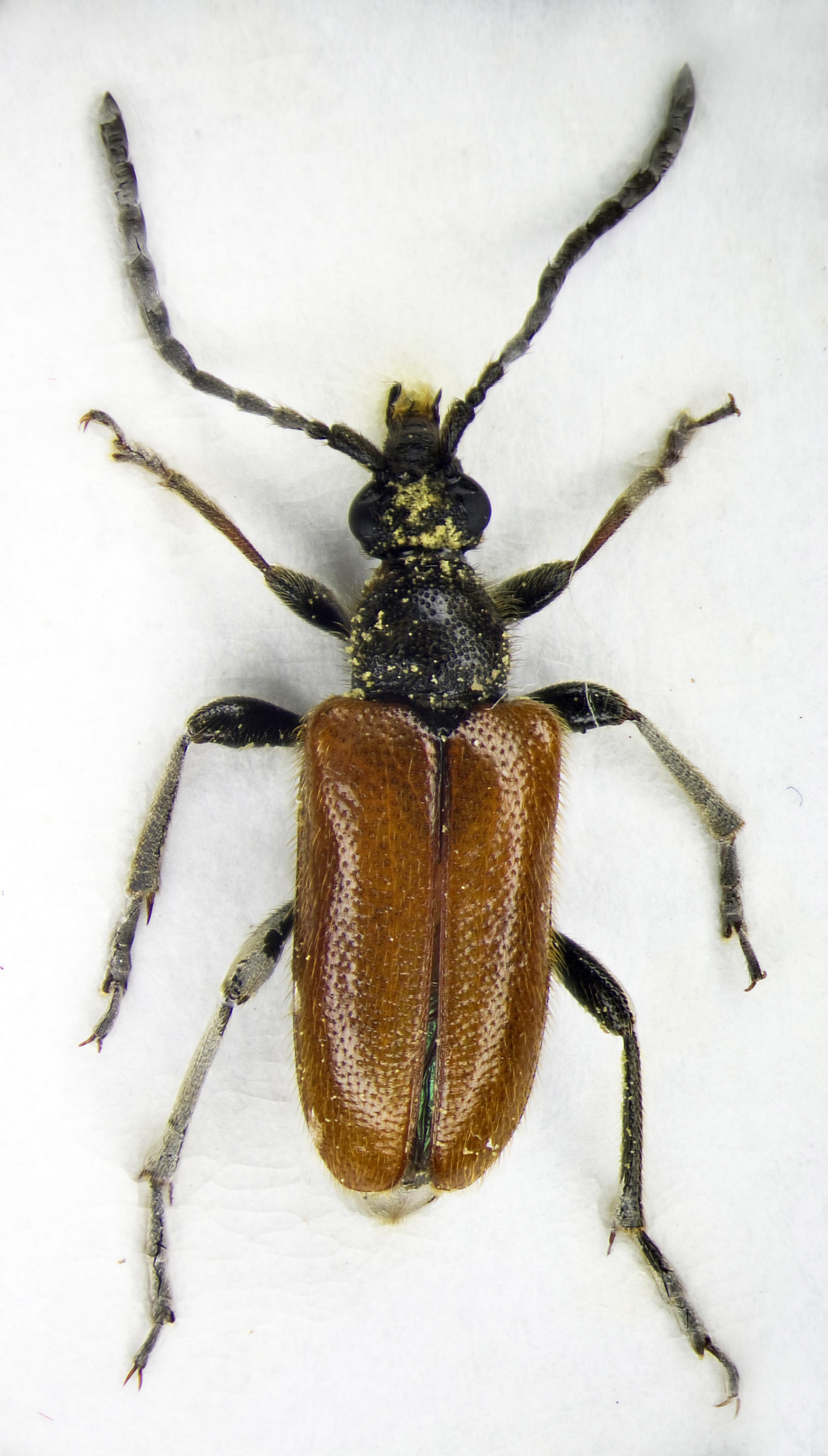 Image of <i>Alosterna <i>tabacicolor</i></i> tabacicolor