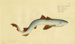 Image of Liver-oil Shark