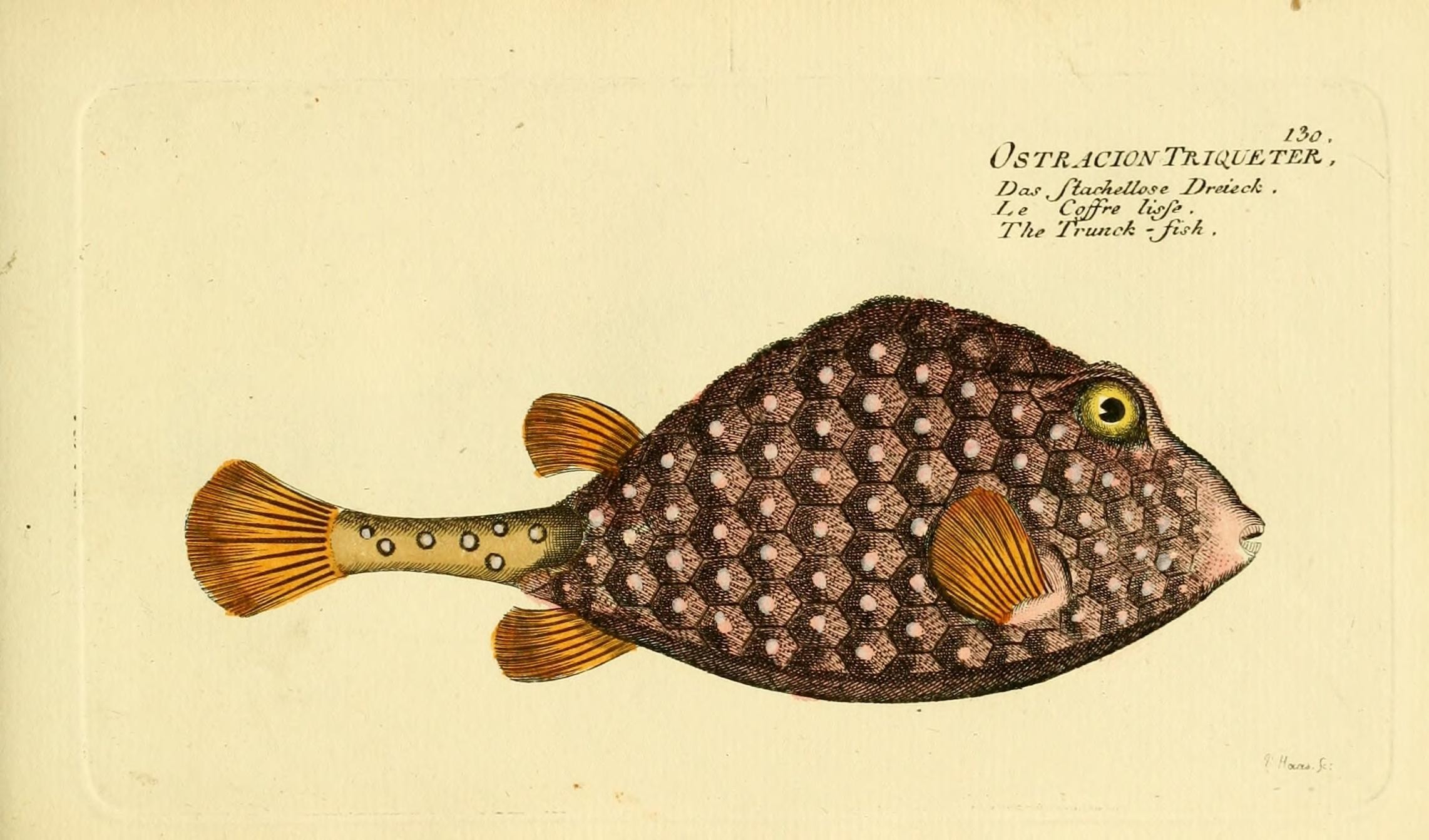 Image of <i>Rhinesomus triqueter</i> (Linnaeus 1758)