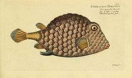 Image of Buffalo Trunkfish