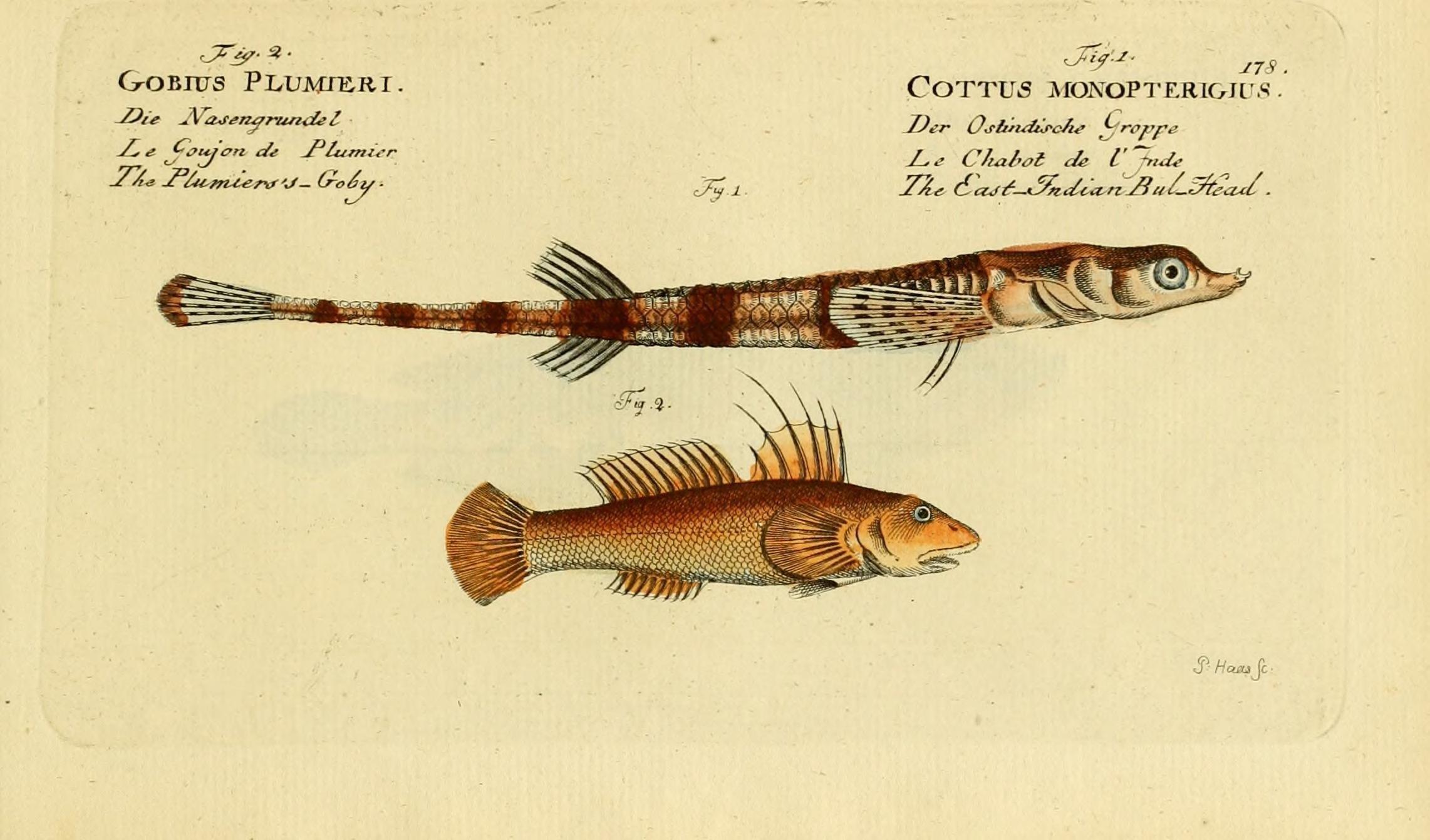 Image of alligatorfish