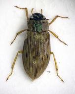 Image of <i><i>Helophorus</i></i> (Helophorus) <i>aequalis</i> Thomson & C. G. 1868