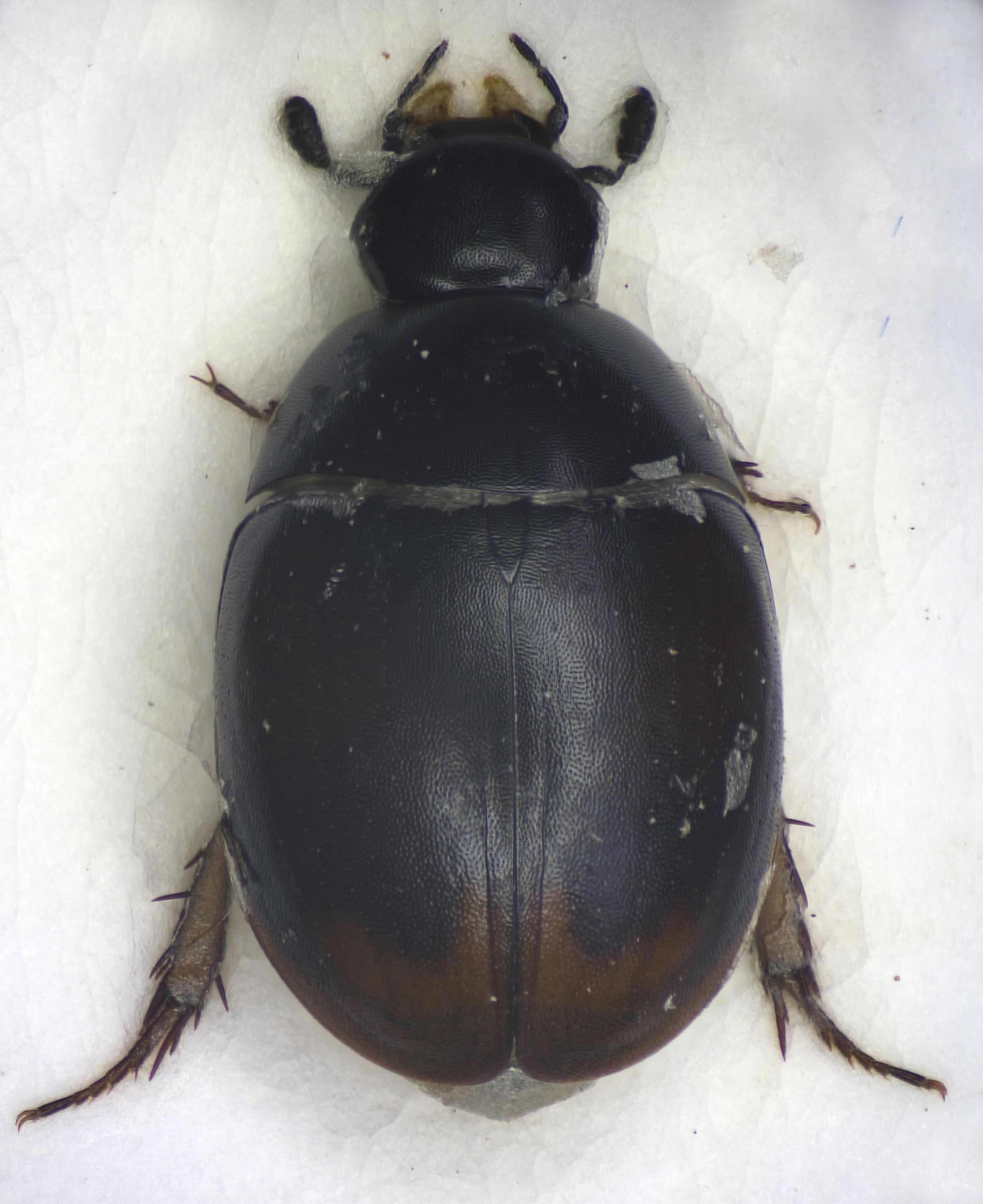 Image of <i>Sphaeridium bipustulatum</i> Fabricius 1781