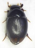 Image of <i>Cercyon</i> (<i>Dicyrtocercyon</i>) <i>ustulatus</i> (Preyssler 1790)