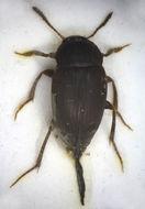 Image of <i>Catops grandicollis</i> Erichson 1837