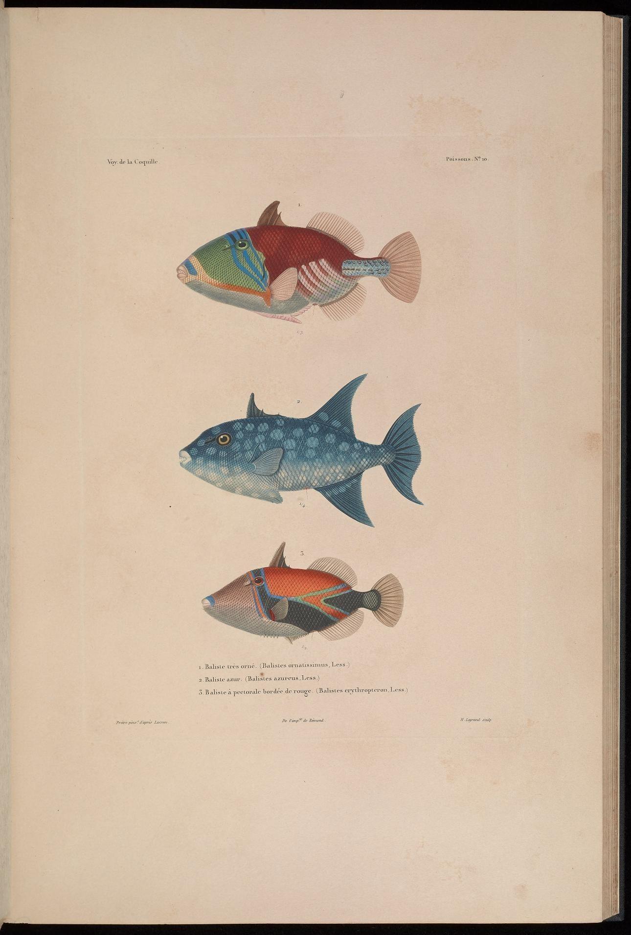 Image of <i>Balistes ornatissimus</i> Swainson 1838
