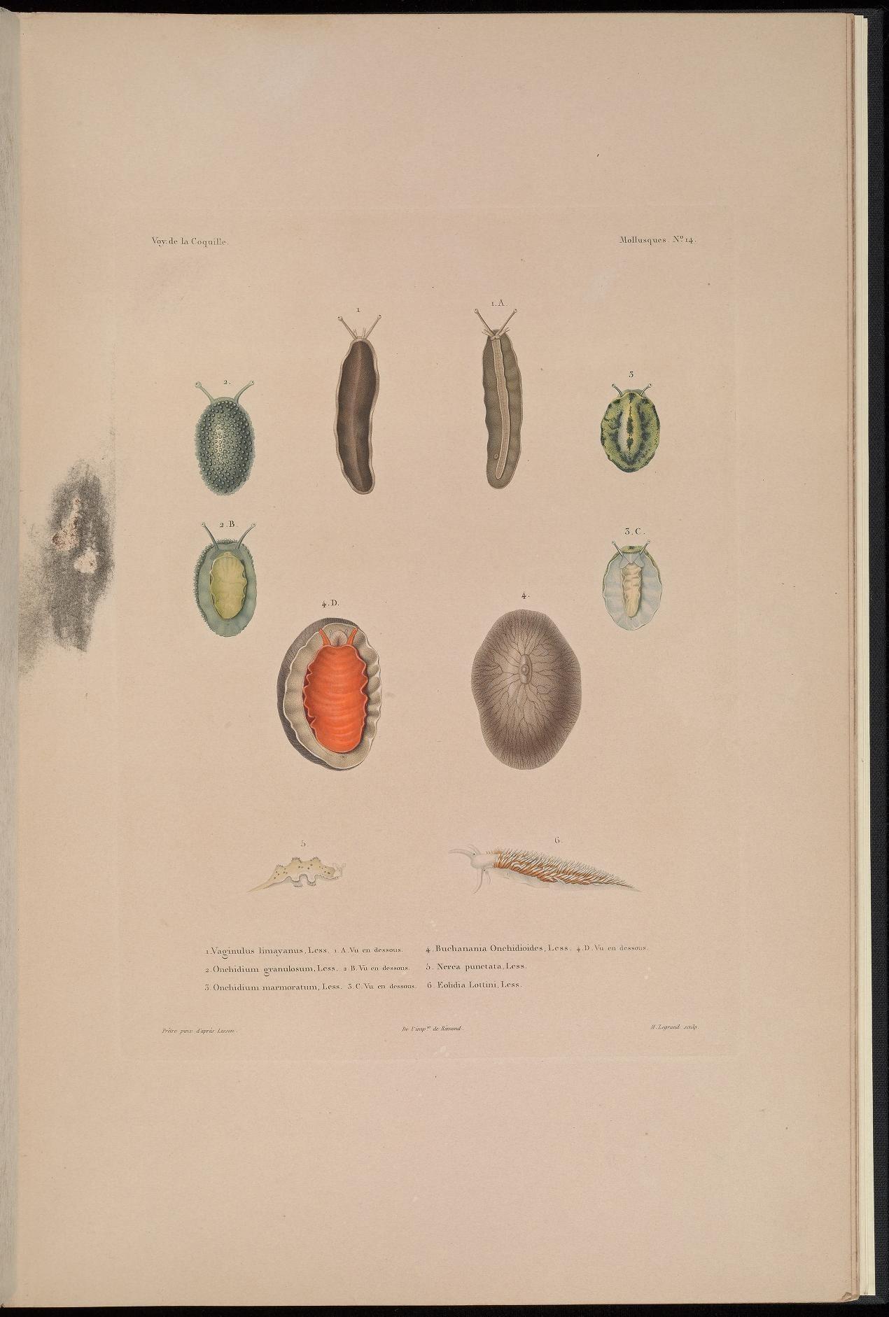 Image of <i>Onchidium granulosum</i>