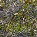 Image of crossidium moss