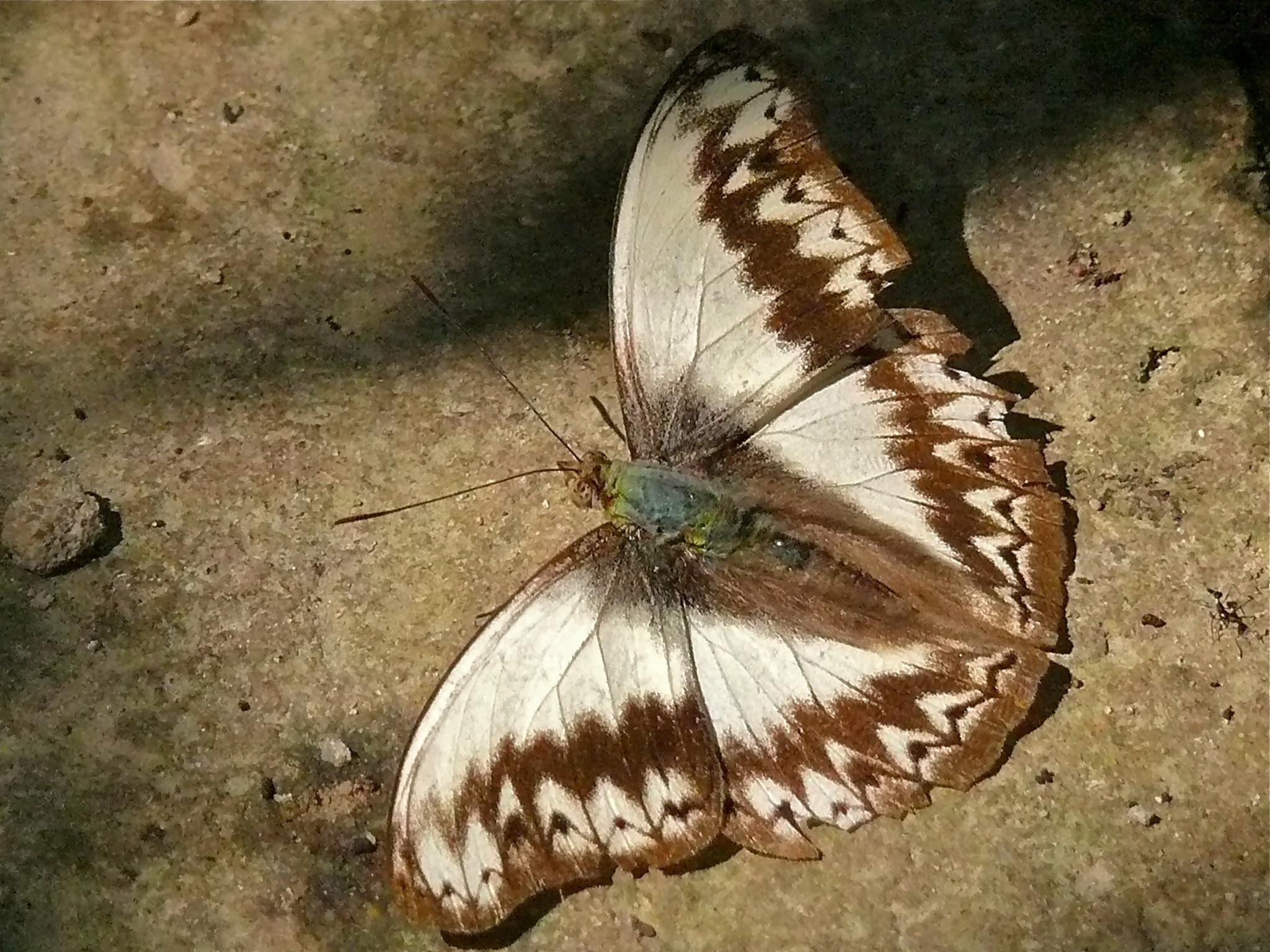 Image of <i>Cymothoe herminia</i> Smith 1887