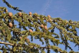 Image of Atlas Cedar