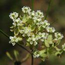 Image of whorled milkweed