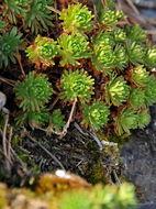 Image of <i>Saxifraga moncayensis</i> D. A. Webb